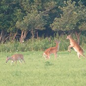 The Whitetail herd along Halls Rd. South