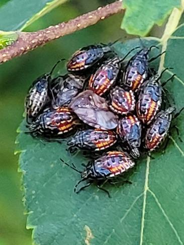 Japanese Beetles Cochrane, ON