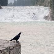 Posing crow