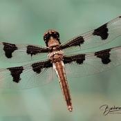 12 spotted female skimmer