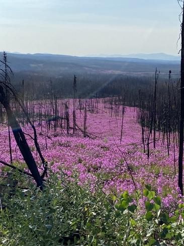 River of fireweed Ethel lake Yukon