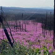 River of fireweed