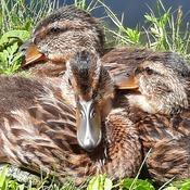 petit repos pour les canards