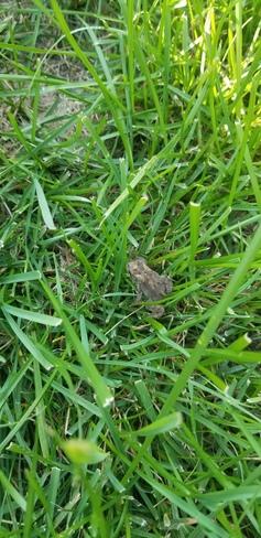 backyard toad Hespeler, ON
