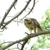 Red-tailed hawk munching on an American toad