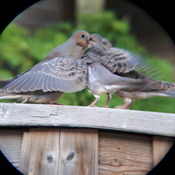 doves being fed by mother