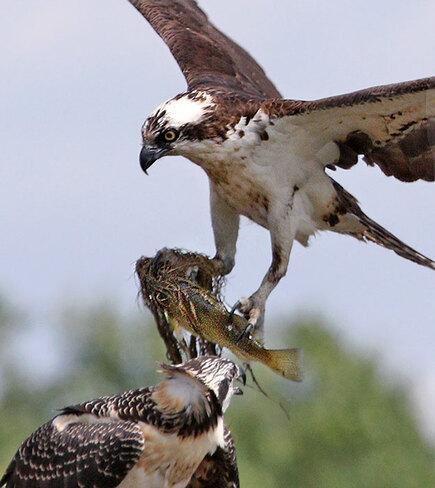 Osprey with big fish Ottawa, ON