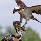 Osprey with big fish