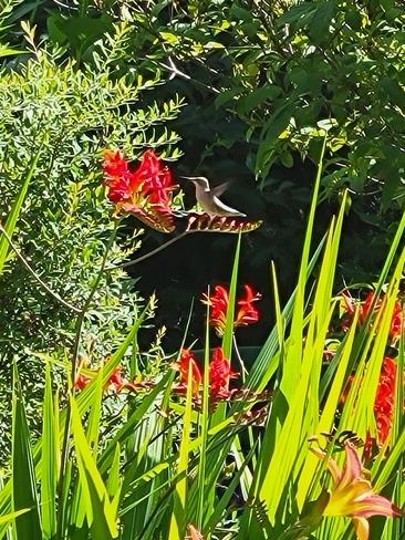 oiseau mouche Lac-Beauport, QC