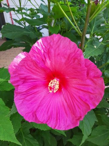 hibiscus Laval, QC