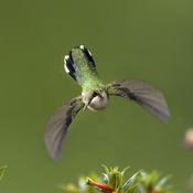 colibris à gorge rubis