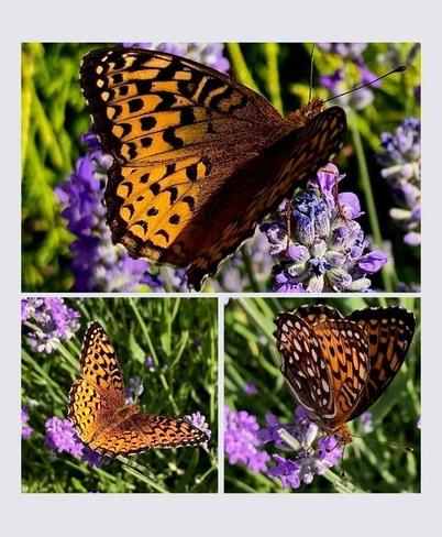 Papillon Atlantis et lavande Pointe-au-Père, Québec, CA
