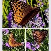 Papillon Atlantis et lavande