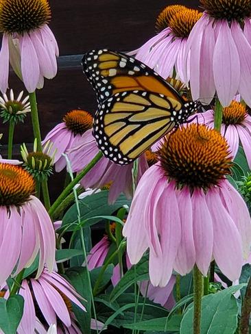 joli papillon Saint-Jean-sur-Richelieu, QC