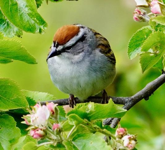 Chipping Sparrow Saint John, NB