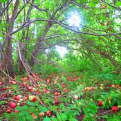 Pommier dans un champ