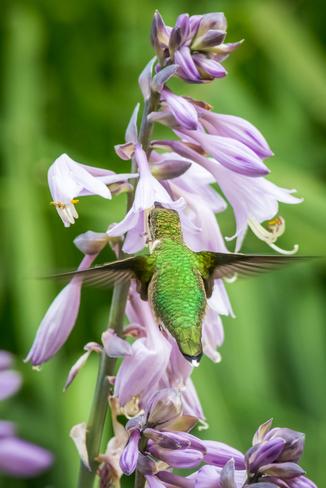 Hummingbird Thornbury, ON