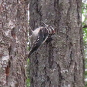 Woodpecker at Sprout Lake