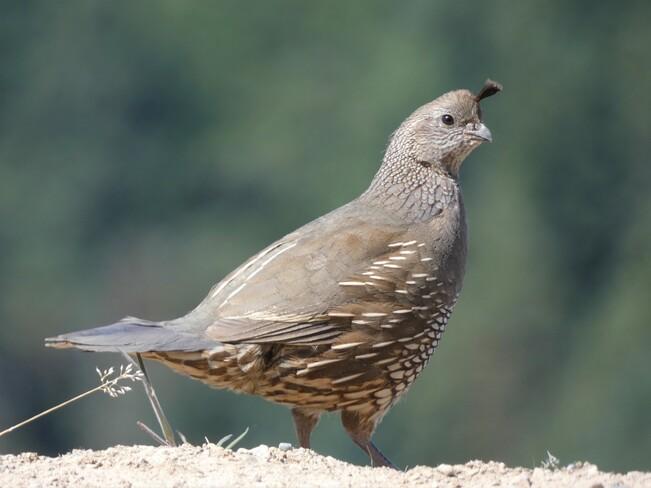 A momma California quail. Nanaimo, BC