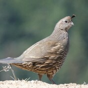 A momma California quail.
