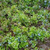 Field Of Big Blueberries