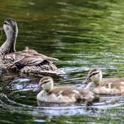 Still ducklings around