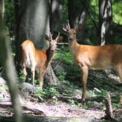 Sibling deer