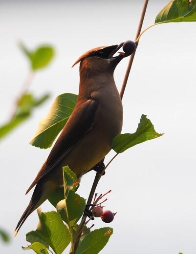 Cedar Waxwing reaching for berry