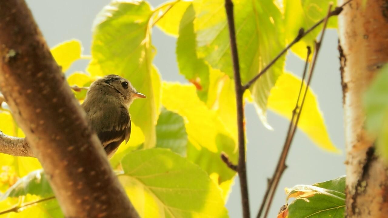 Warbler - Mabel Lake, BC