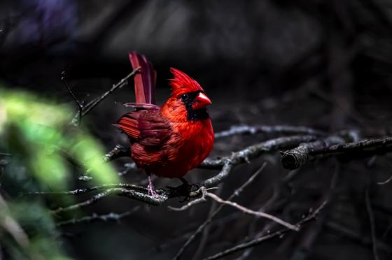 Forest Cardinal