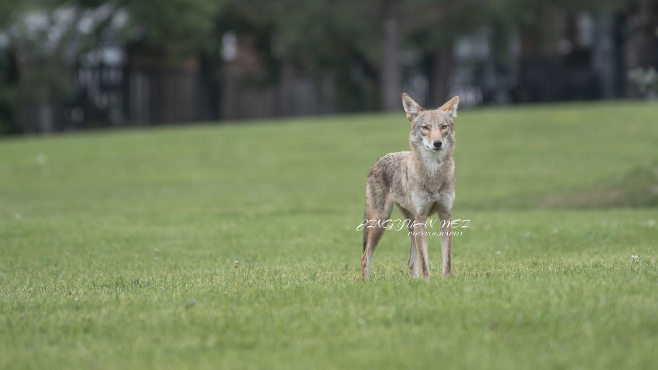 coyote in the  neighbourhood