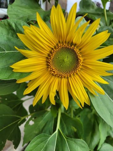sunflower Port Elgin, ON