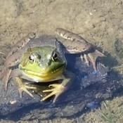Fielding Park Frog