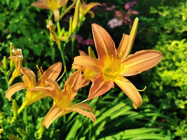 Fielding Park Lilies Fielding Park, ON