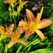 Fielding Park Lilies