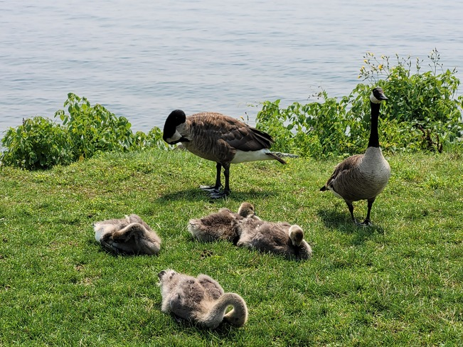 Canada Geese never ending Barrie, ON
