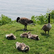 Canada Geese never ending
