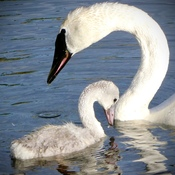Momma swan and Baby