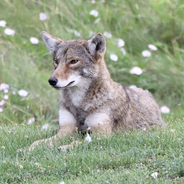 Young coyote relaxing near the beach