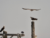 Inland Pit Osprey Nest