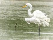 Graceful Egret in the Rain