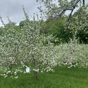 Floraison des pommiers