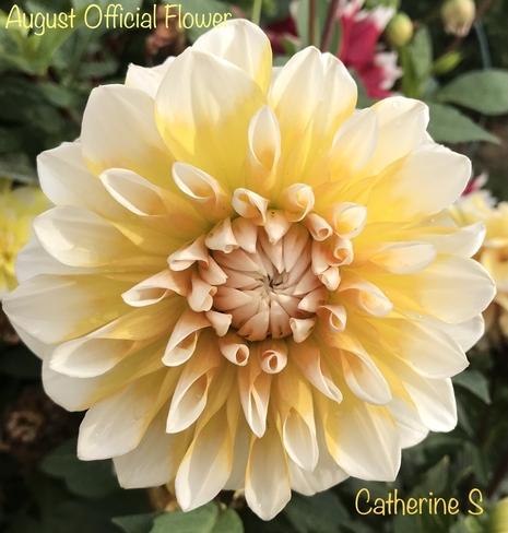 Dahlia- Official Flower for August Toronto, Ontario, CA