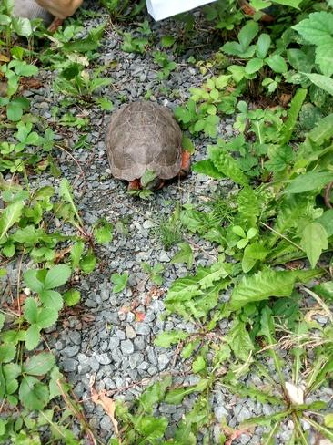 wood turtle Miramichi, NB