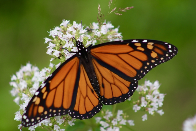 Monarch Butterfly Algonquin Highlands, Ontario, CA