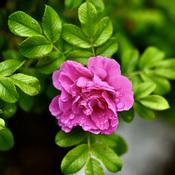 Rose après la pluie