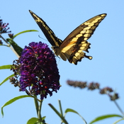 Swallowtail Butterfly loves this bush!
