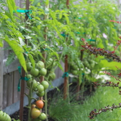 Tomato Forest, regardless social distancing