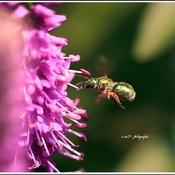Sorte d abeille..!