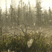Foggy Field Of Spider Webs